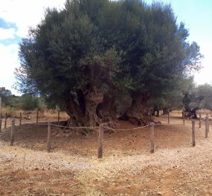 Samonas monumental olive tree