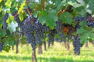 cabernet-sauvignon-1022141782